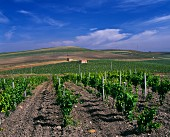 The President s Vineyard of Carlo Pellegrino. Chardonnay and Cabernet Sauvignon are planted here along with traditional Sicilian varieties. Marsala, Trapani province, Sicily, Italy.
