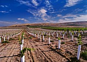 Young Sangiovese vines protected by grow tubes. Kiona Vineyards, Benton City, Washington, USA. [Red Mountain AVA]