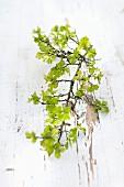 Weissdorn mit zarten Blättern auf Holz mit abblätternder weisser Farbe