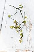 Kirschbaumäste mit Knospen auf Holz mit abblätternder weisser Farbe
