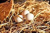 Fresh organic eggs in a nest on a farm