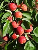 Aprikosen am Zweig
