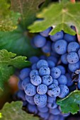 Heat-resistant red wine grapes