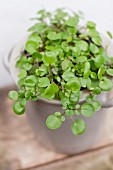 A pot of watercress (nasturtium officinale)