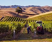 Weinernte für Greywacke Sauvignon Blanc auf dem Weingut Yarrum, Weinberg Ben Morven (Marlborough, Neuseeland)