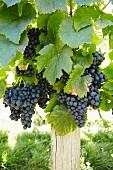 Grapes on a Vine