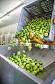 Apples being tipped into a stainless steel funnel for juicing, South Tyrol
