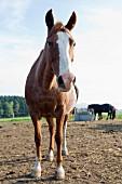 A Westphalian horse, Bad Münstereifel