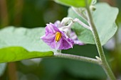 An aubergine flower on a plant