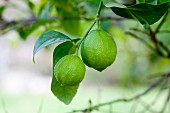 Limes on the tree
