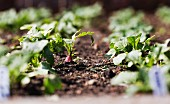 Young radish plants in a vegetable patch