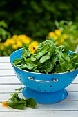 Fresh spinach in a blue colander
