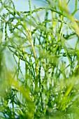 Green santolina (close-up)