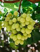 Grüne Trauben im San Joaquin Valley, Kalifornien
