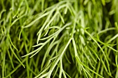 Fresh dill (close-up)