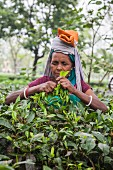 A woman harvesting tea, Bagdogra, Darjeeling, India