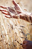 Hands touching ears of wheat in a field