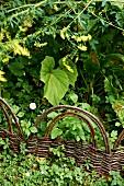 Geflochtener Weidenzaun in dichtem Gartengrün