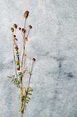 Lesser burnet (sanguisorba minor)