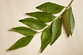 A sprig of fresh curry leaves