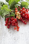 A sprig of redcurrants with leaves