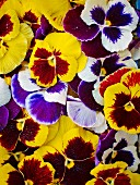 Various coloured pansies (full frame)