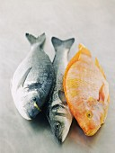 Gilt head seabream, sea bass and tilapia
