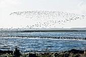 Zugvögel über einer Sandbank im Wattenmeer, Sylt
