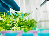 A researcher using a pipette to water young plants in a laboratory