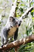 A koala climbing on a branch