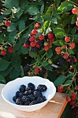 Freshly picked blackberries in a bowl in front of a blackberry bush