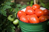 Freshly harvested plum tomatoes in an enamel bucket