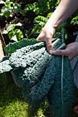 Hands holding freshly harvested kale