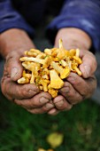 Hands holding freshly picked chanterelles