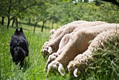 A sheep dog walking past grazing lambs