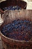 Geerntete Rotweintrauben in Holzbottichen