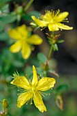 Flowering St. Johns' wort (close-up)