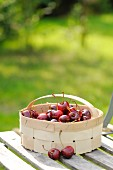 Sour cherries in a wooden basket on a garden chair