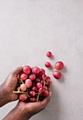 Hands Holding a Bunch of Fresh Red Globe Grapes