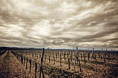 A vineyard in Kamptal during spring with a dramatic sky