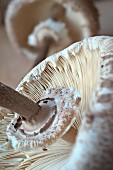 A fresh parasol mushroom (close-up)