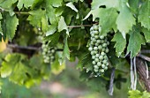 Unripe grapes on a vine