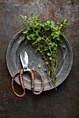 Fresh oregano on an antique pewter plate with a pair of scissors