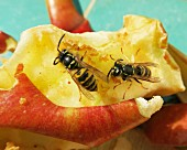 Wasps on a slice of apple