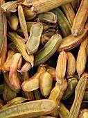 Pacae-Bohnen (Vaina Cuajiniquil)