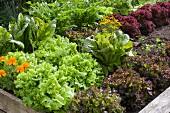 Hochbeet im Garten mit verschiedenen roten und grünen Salatsorten und Tagetes
