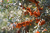 See buckthorn berries in the sunshine