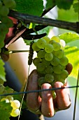 Grape harvest at the Franzen vineyard, Bremm, Rhineland Palatinate, Germany (type of grape: pinot blanc)