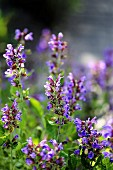 Flowering sage in a garden