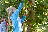 A little girl picking apples from a tree
